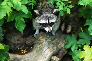 our animals - raccoon
